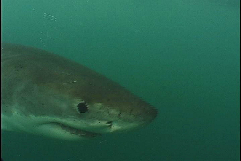 Great white shark (Carcharadon carcharias) to camera. Endangered Species. South Africa - 1015-910