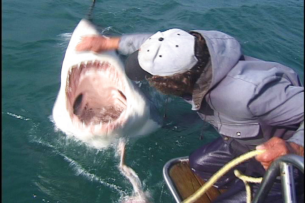 Great white shark (Carcharadon carcharias). Endangered Species. Tempted to surface then handled. South Africa