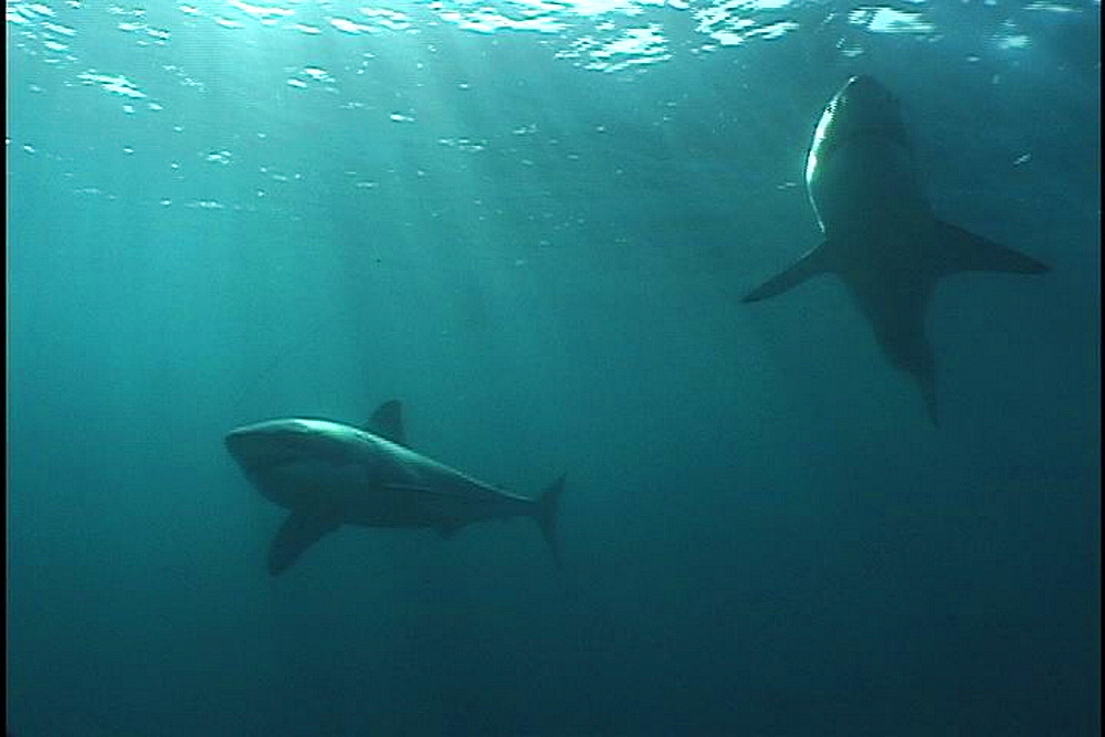 Great white shark (Carcharadon carcharias) pairabove camera. Endangered Species. South Africa