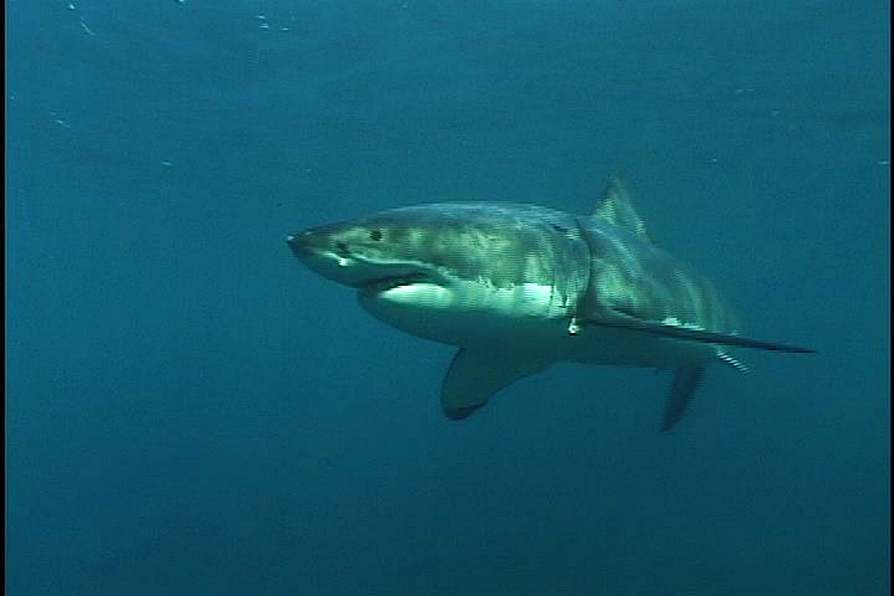Great white shark (Carcharadon carcharias) swims. Endangered Species. South Africa