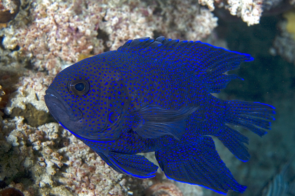 Southern blue devil (paraplesiops meleagris), wild, day, solitary, bottom dwelling specie, marine protected area, diving off Rottnest Island, Western Australia, Indian Ocean.