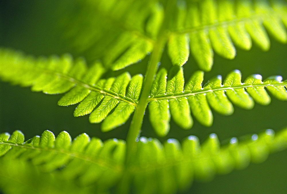 Bracken (Pteridium aquilinum) abstract, UK - 1024-122