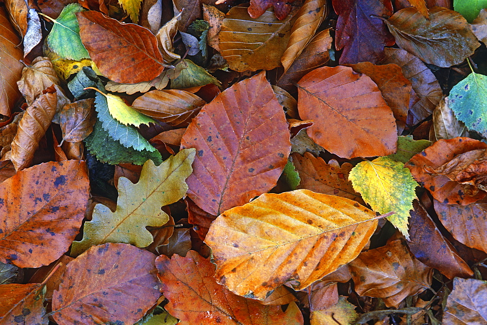 Autumnal Beech leaves (Fagus sylvatica), UK - 1024-129
