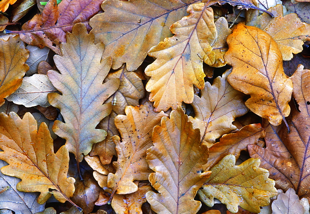 Fallen oak leaves (Quercus robur), UK - 1024-130