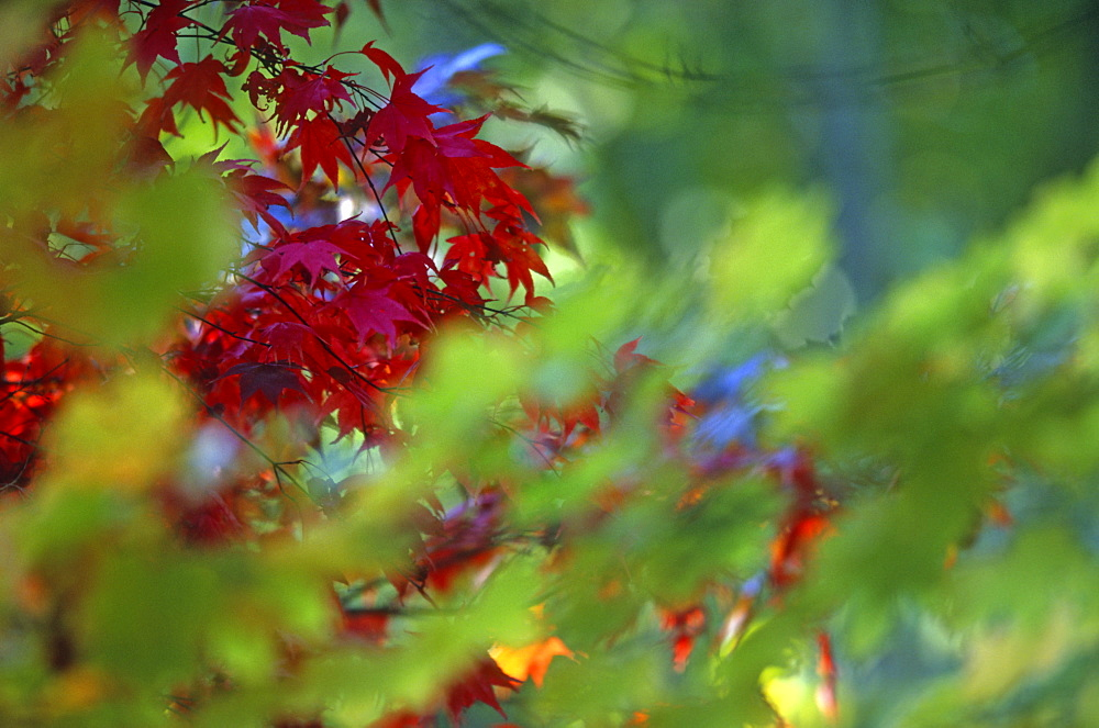 Maple leaves (Acer sp.) in autumn, UK - 1024-131