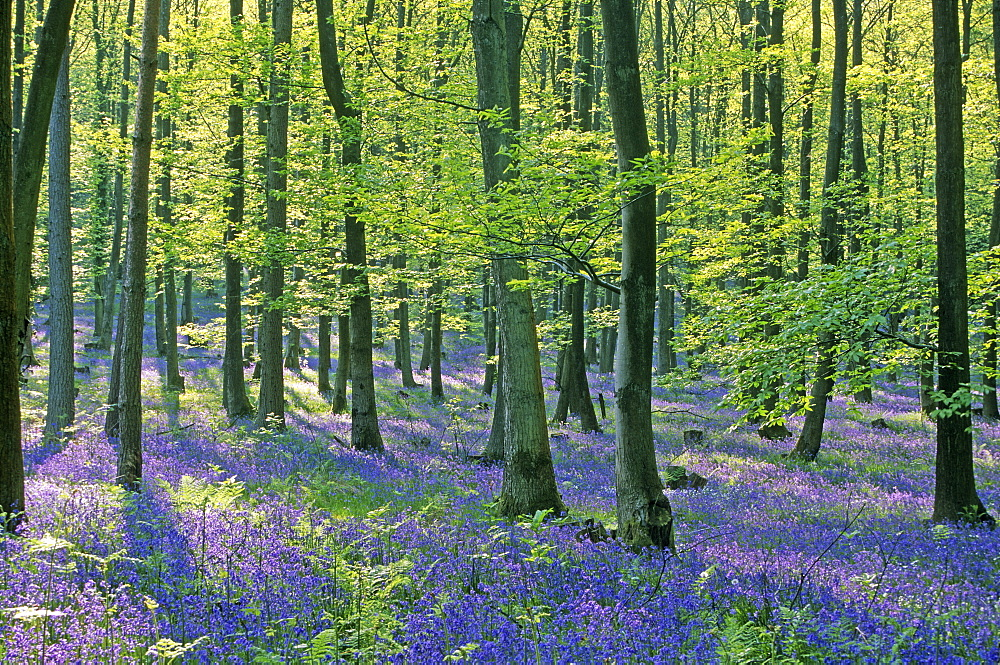 Bluebell wood (Hyacinthoides non-scripta), Forest of Dean, UK - 1024-147