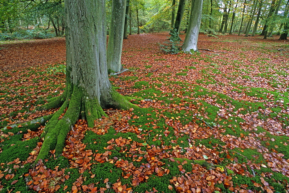 Autumn leaves in beech woodland (Fagus sylvatica), UK - 1024-156