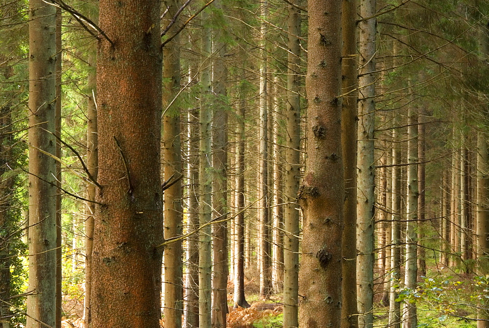 Tree trunks in commercial Pine plantation, UK - 1024-158