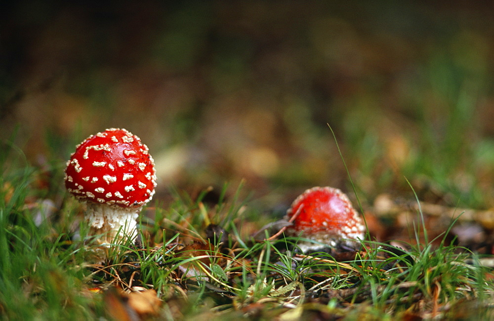 Poisonous Fly agaric (Amanita muscaria) toadstool, UK