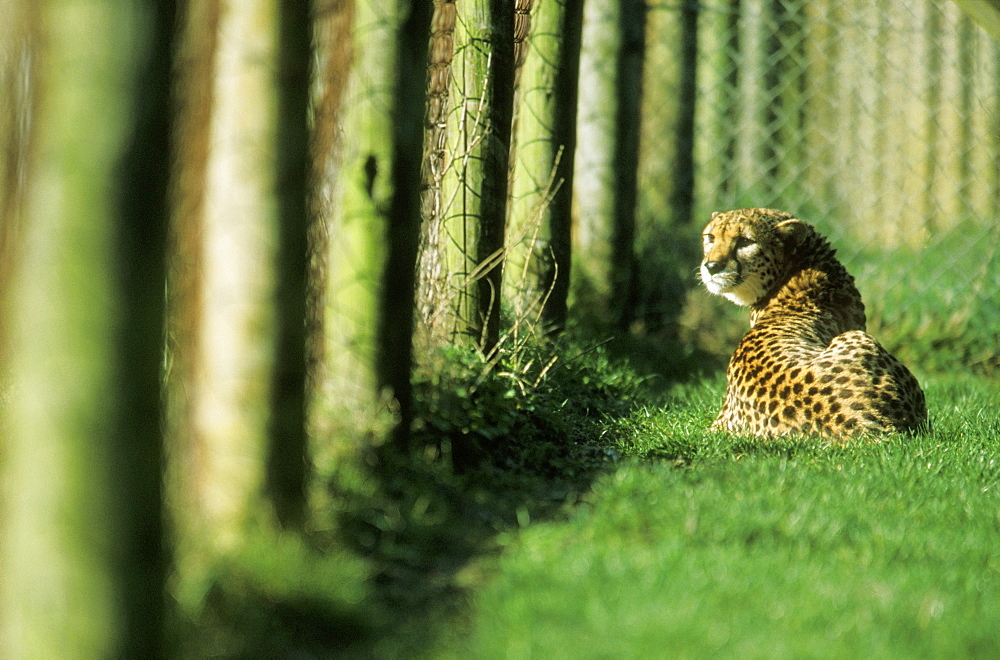 Captive Cheetah (Acinonyx jubatus) looking through enclosure fence, UK - 1024-212