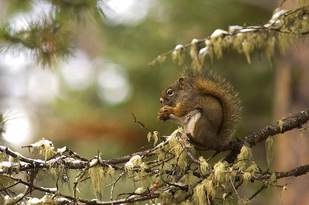 Red squirrel (Sciurus vulgaris) feeding on lichen covered branch, Wyoming, USA