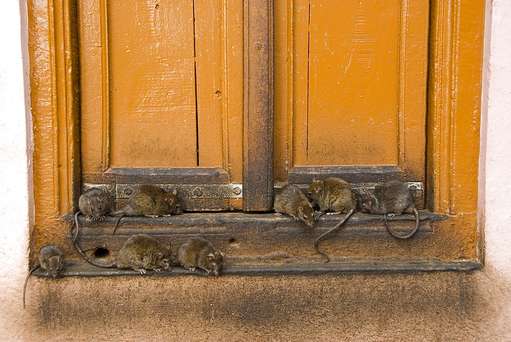 Brown rats (Rattus norvegicus) at the Karni Mata temple at Deshnok, Rajasthan, India - 1024-319