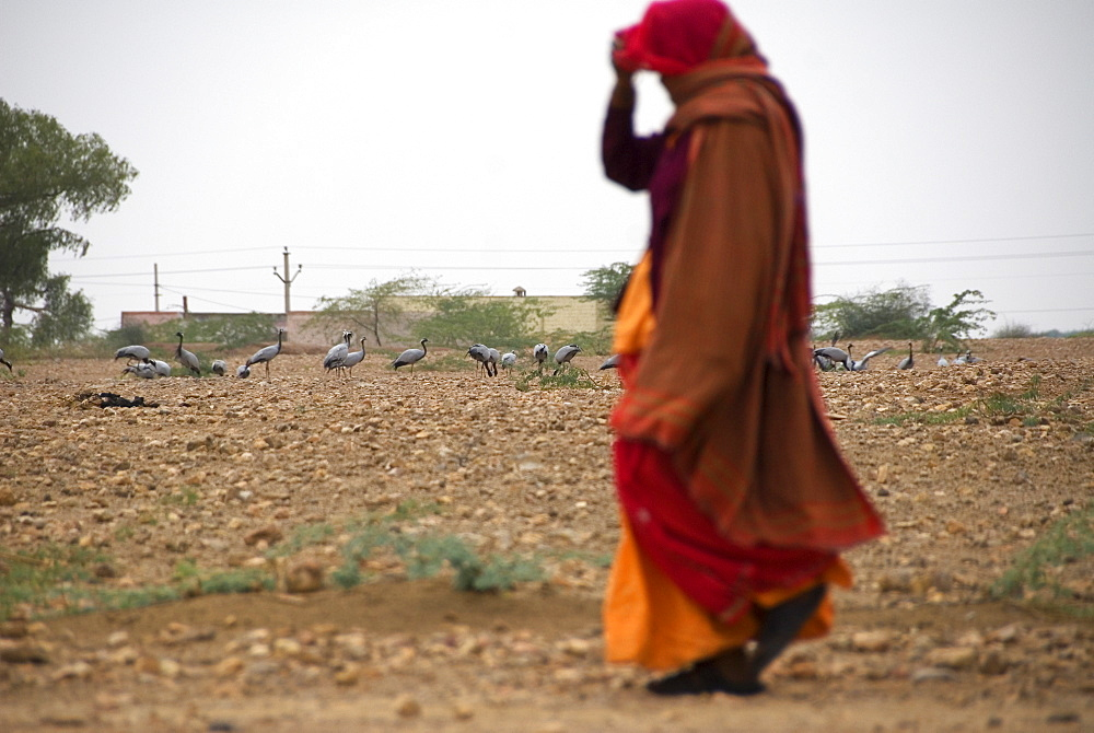 Village woman walking past wild population of Demoiselle cranes (Anthropoides virgo), Keechen, Rajasthan, India - 1024-321