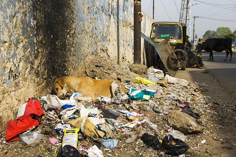 Street dog sitting in rubbish eating a bone, Udaipur, Rajasthan, India