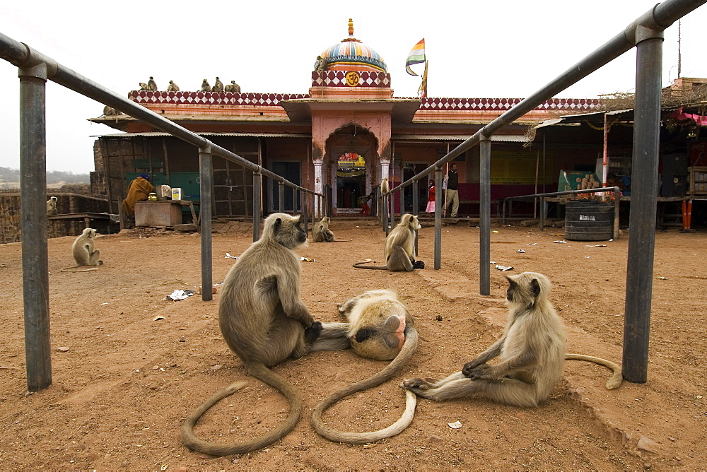 Hanuman langurs (Semnopithecus entellus) waiting outside the temple of Lord Ganesha for food, Ranthambhore Fort, Rajasthan, India