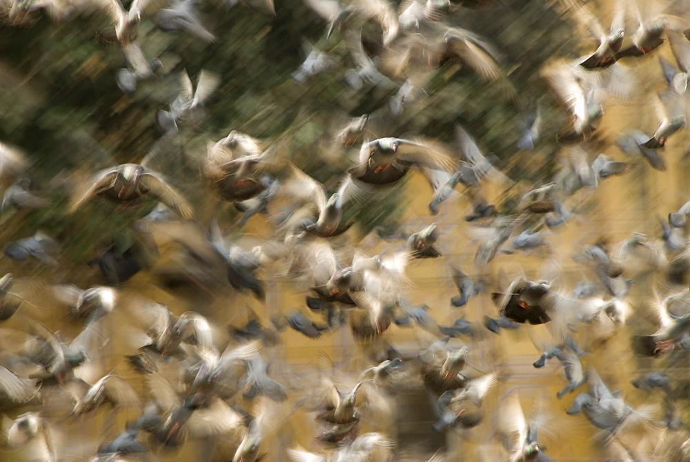 Flock of Feral pigeons (Columba livia) taking off, Jaipur, Rajasthan, India