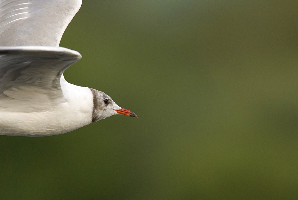 Juvenile Black-headed gull (Larus ridibundus) in flight, UK