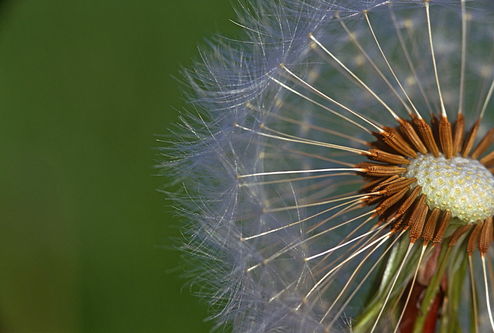 Dandelion (Taraxacum sp.), UK