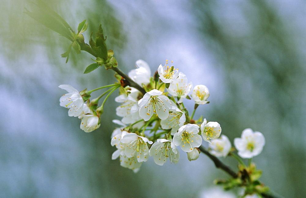 Wild cherry (Prunus avium) blossom, UK - 1024-87