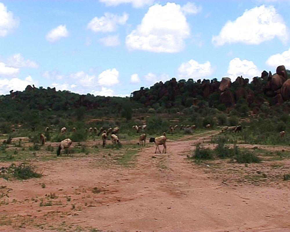 Goats graze, rural Kenya