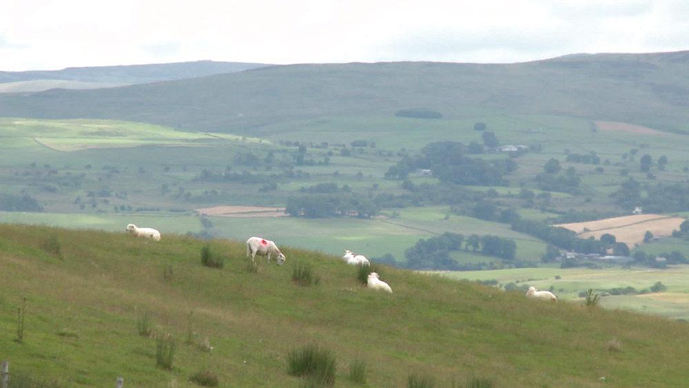 (general view) sheep grazing (medium shot) & (wide shot), Snowdonia, Wales, United Kingdom