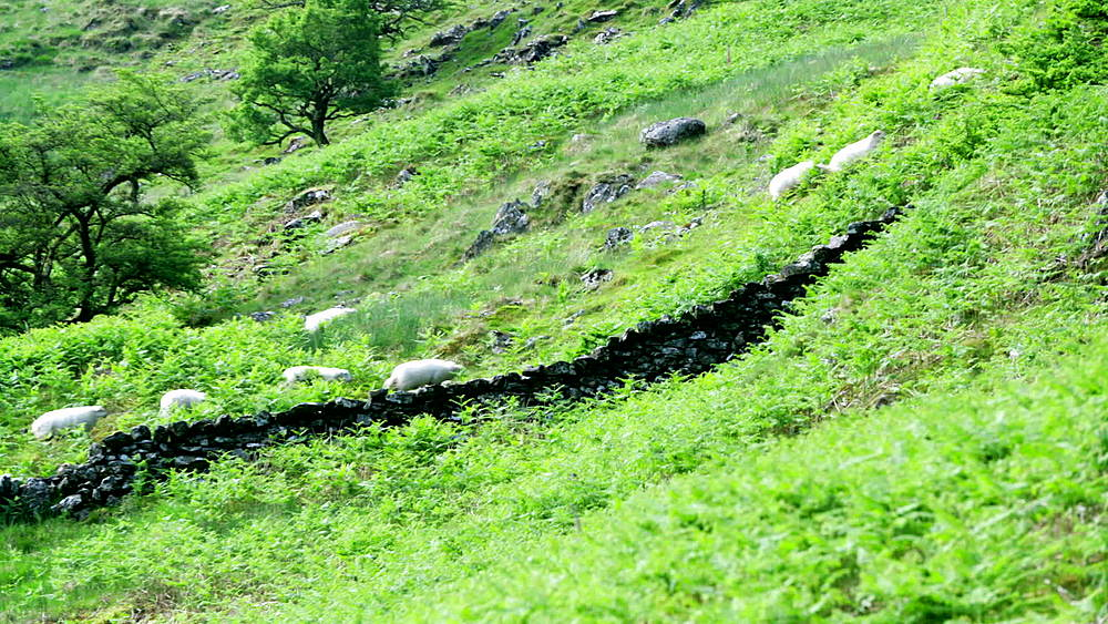 sheep cming down mountain (wide shots) - 1031-2324