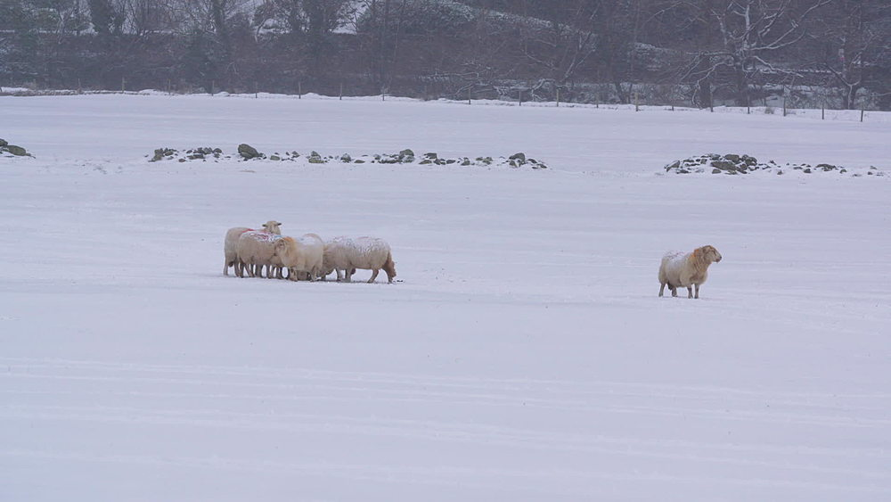 sheep eating in snowy field - 1031-2344