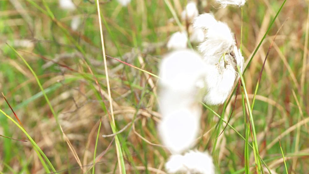 cotton grass (slow mo, close ups and mid shots)