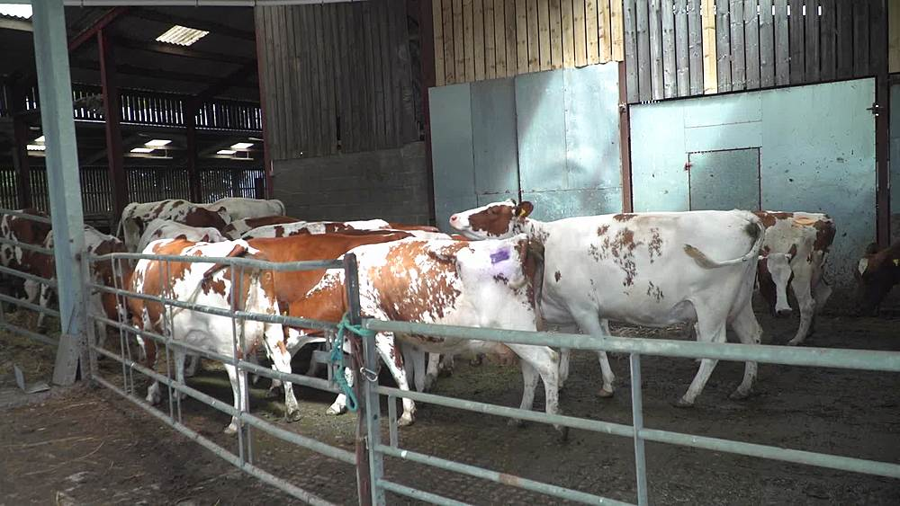 Dairy cows wainting to go into milking parlour & going in - 1031-2408