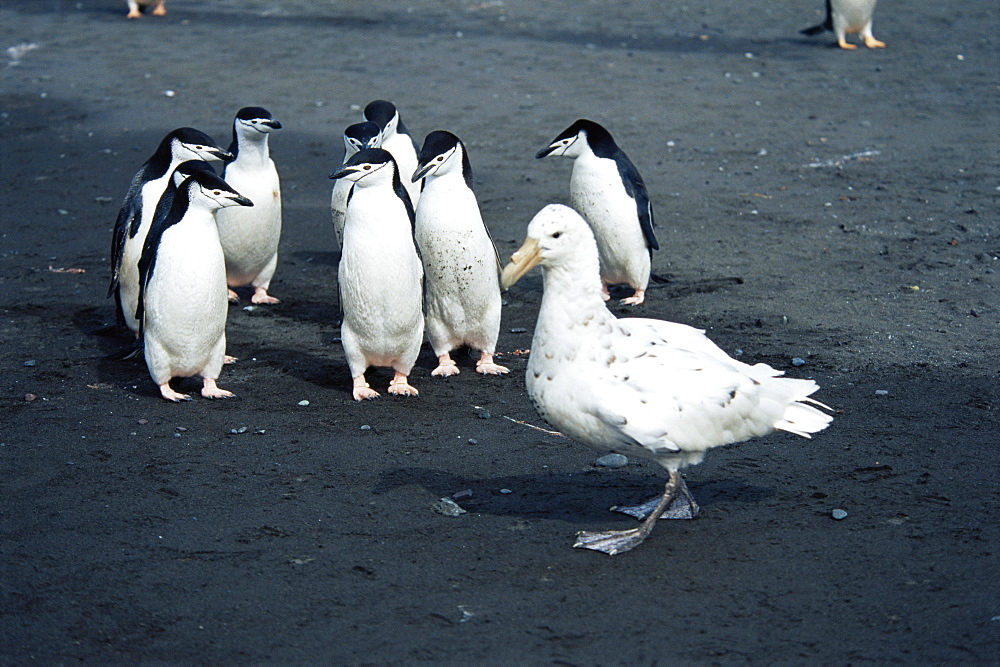 Southern giant petrel (Macronectes giganteus) white morph, and chinstrap penguins (Pygocelis antarctica), NB: penguins standing their ground against the petrel, antarctica, Southern Oceanl