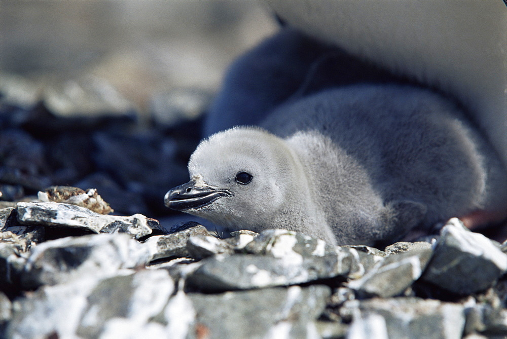 Chinstrap penguin (Pygoscelis antarctica) chick, Hannah Point, Antarctica, Southern Ocean.