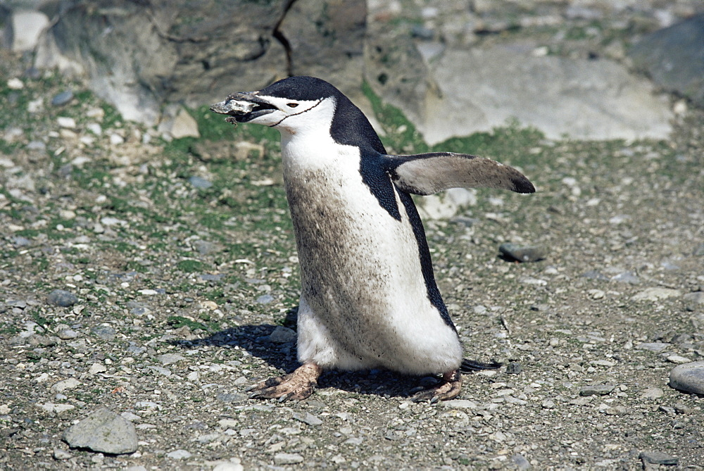 Chinstrap penguin (Pygoscelis antarctica) carrying pebble for nesting, Deception Island, Antarctica, Southern Ocean.