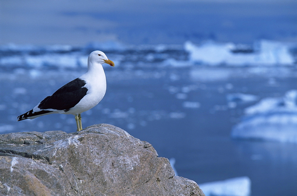 Black-backed gull (larus dominicus) Brown Bluff, Antarctica, Southern Ocean.