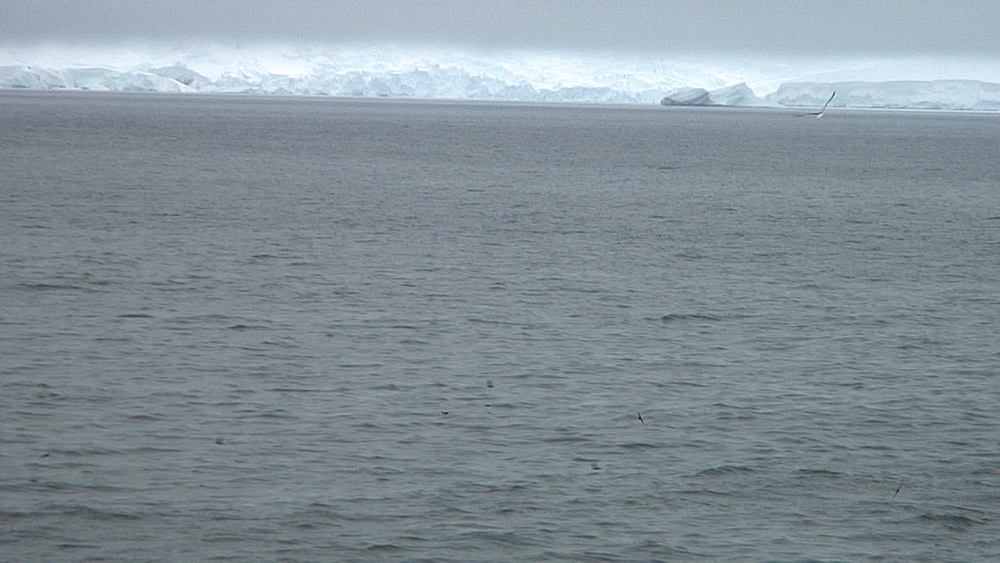 pod of orcas (killer whales) surfacing with snowy mountains in background, Antarctica