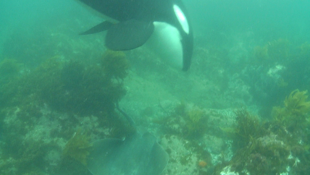 Killer whale (Orca orcinus). Underwater. Pair hunting for rays.  Bay of Islands. New Zealand - 1034-216