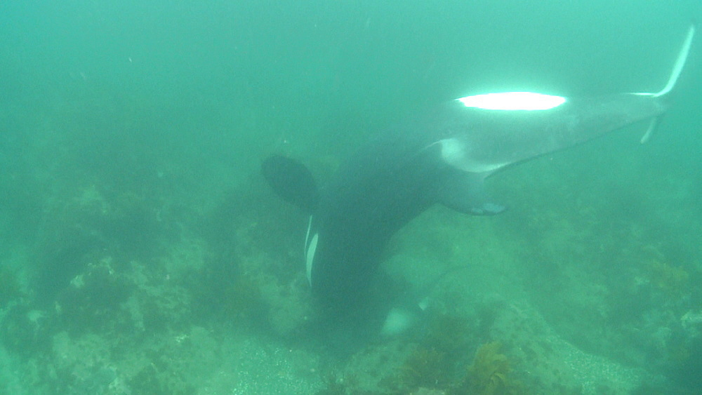 Killer whale (Orca orcinus). Underwater. Pair hunting for rays.  Bay of Islands. New Zealand - 1034-217