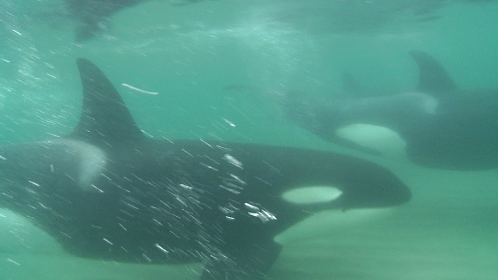 Killer whale (Orca orcinus). Underwater. Pair swim in sandy shallows.  Bay of Islands. New Zealand - 1034-218