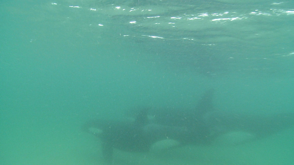 Killer whale (Orca orcinus). Underwater. Pair swim. Murky. Bay of Islands. New Zealand - 1034-219