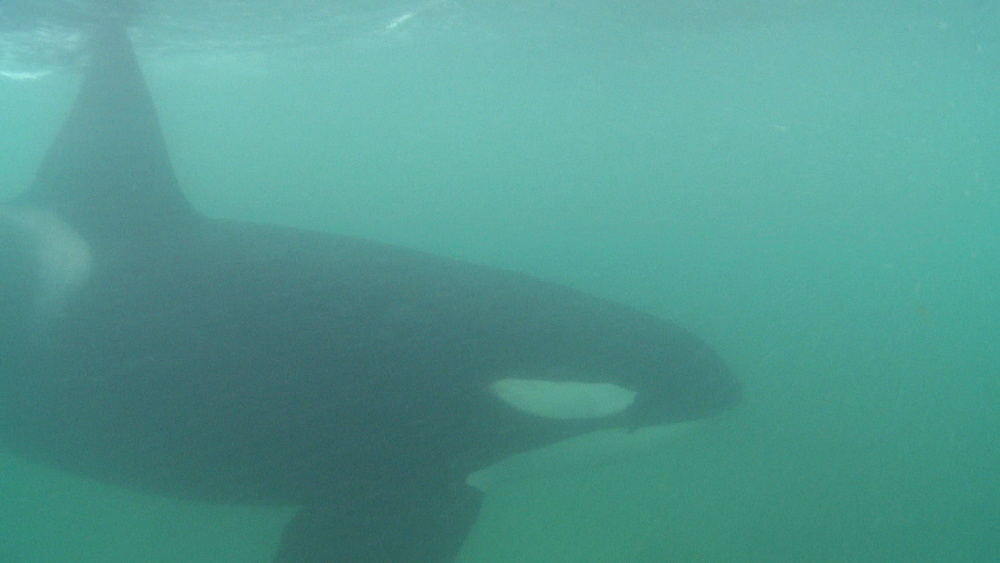 Killer whale (Orca orcinus). Underwater. Murky. Bay of Islands. New Zealand - 1034-220