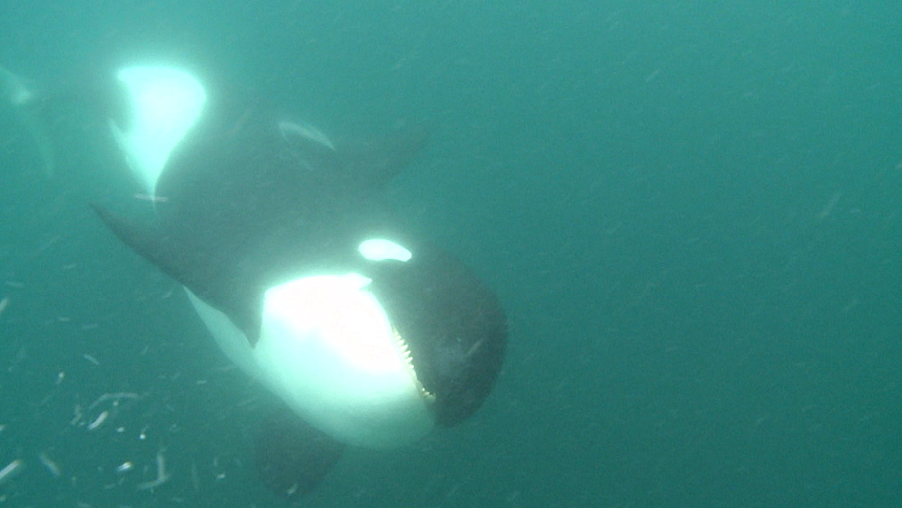 Killer whale (Orca orcinus). Underwater. Bay of Islands. New Zealand