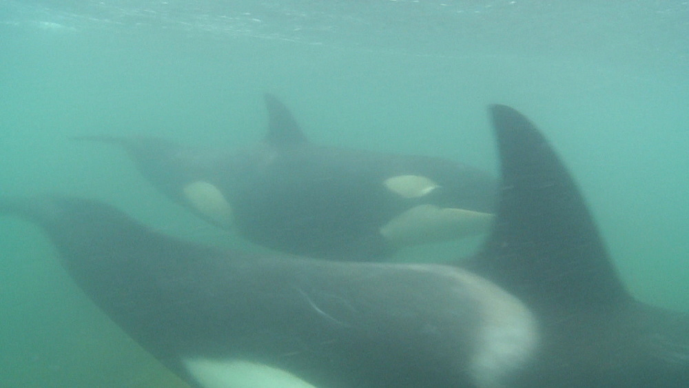 Killer whale (Orca orcinus). Underwater. Pair swim.  Bay of Islands. New Zealand - 1034-222