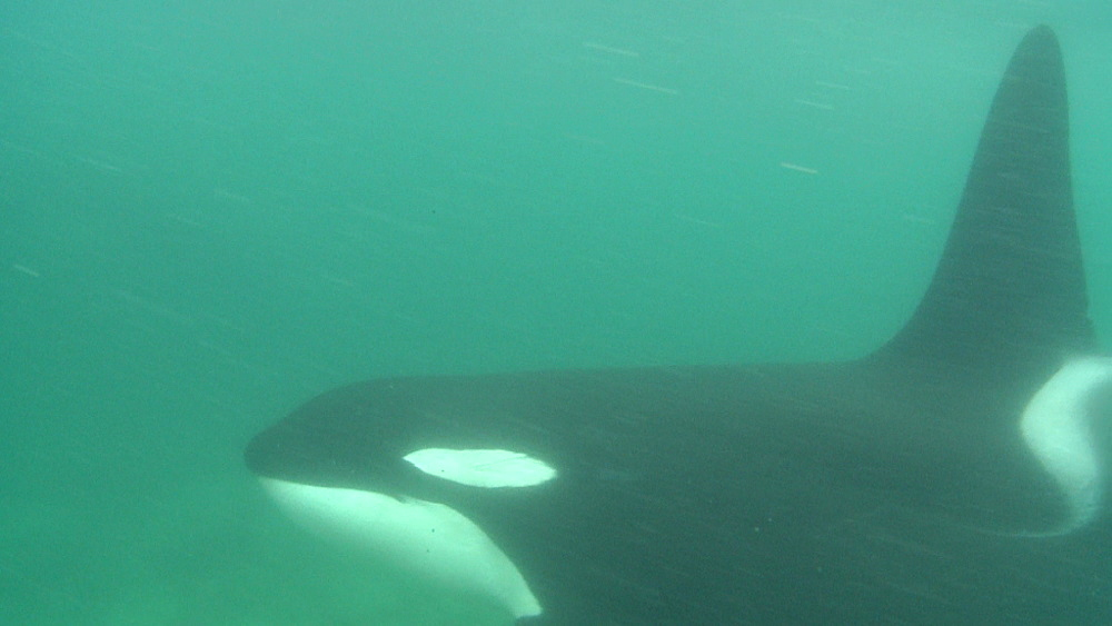 Killer whale (Orca orcinus). Underwater. Pair swim.  Bay of Islands. New Zealand - 1034-223
