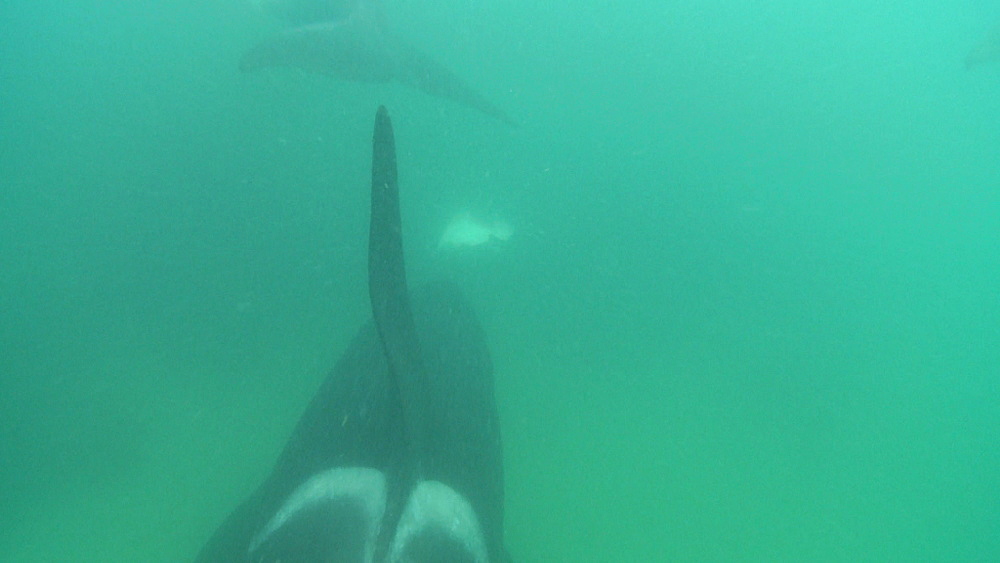 Killer whale (Orca orcinus). Underwater. Pod swim.  Bay of Islands. New Zealand