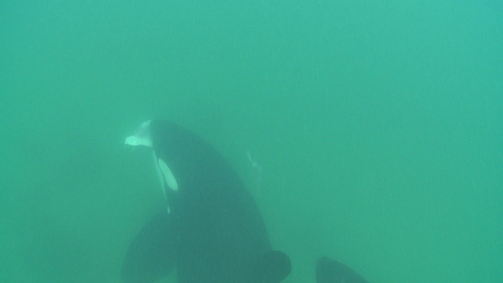 Killer whale (Orca orcinus). Adult with ray in mouth and juvenile. Underwater.  Bay of Islands. New Zealand