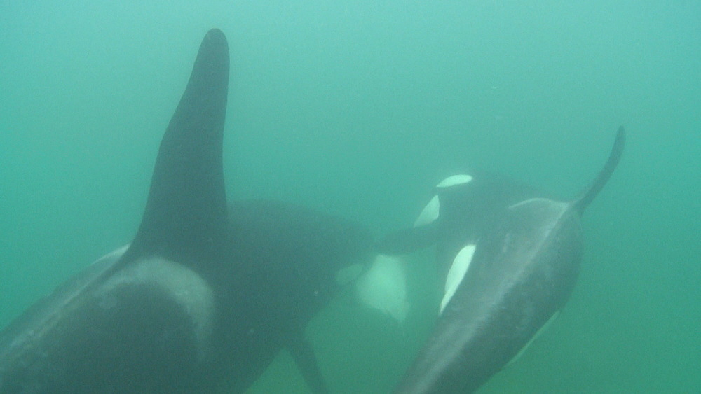 Killer whale (Orca orcinus). Adult and juvenile feed on ray. Underwater.  Bay of Islands. New Zealand - 1034-228