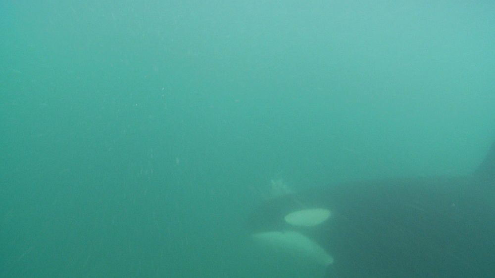 Killer whale (Orca orcinus). Adult with ray in mouth. Underwater.  Murky. Bay of Islands. New Zealand - 1034-231