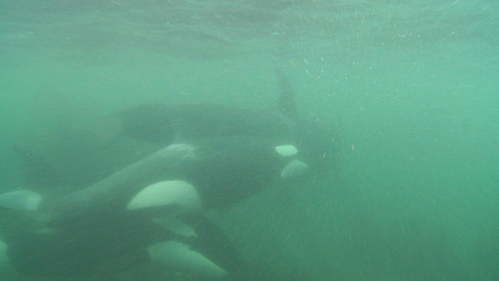Killer whale (Orca orcinus). Underwater. Murky. Pod swim.  Bay of Islands. New Zealand - 1034-232