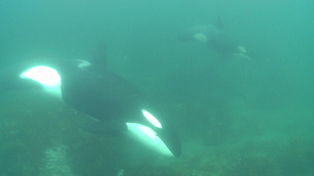 Killer whale (Orca orcinus). Adult and juvenile. Underwater.  Murky. Bay of Islands. New Zealand