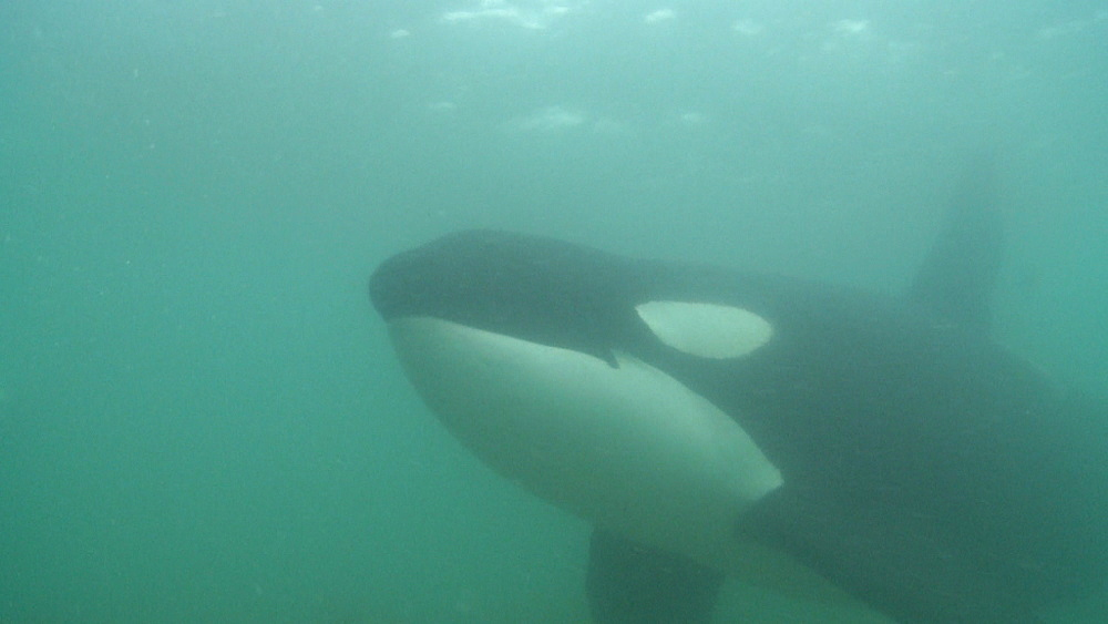 Killer whale (Orca orcinus). Underwater. Murky. Bay of Islands. New Zealand - 1034-235