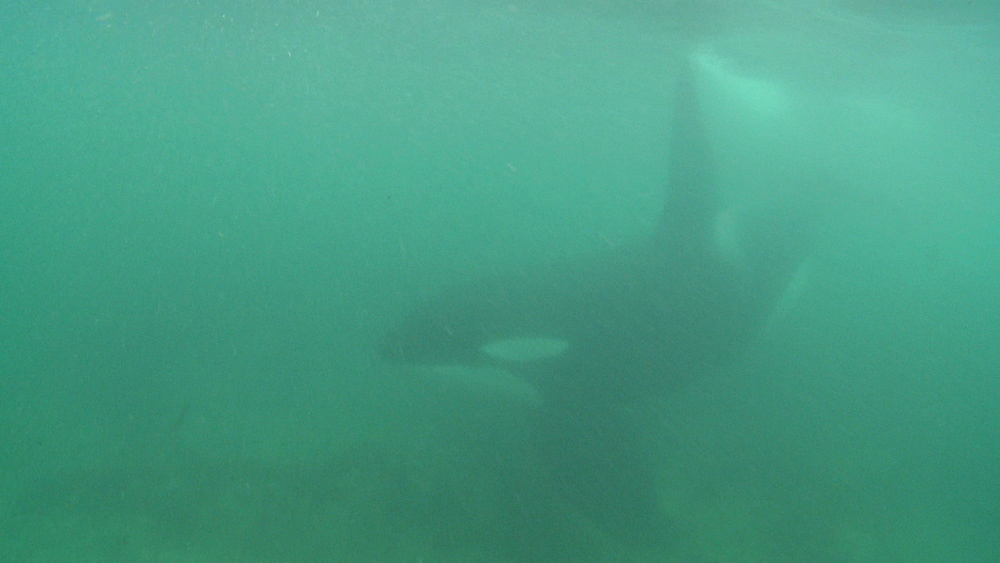 Killer whale (Orca orcinus). Underwater. Murky. Bay of Islands. New Zealand - 1034-236